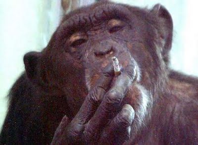 Funny Chimp Smoking Picture