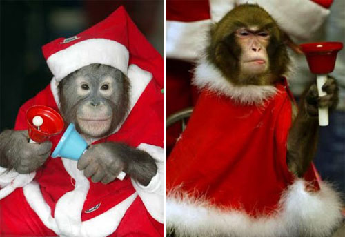 Funny Christmas Monkey picture