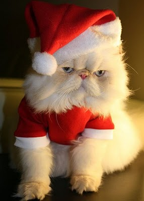 Funny Christmas Cat Picture for Fb Share