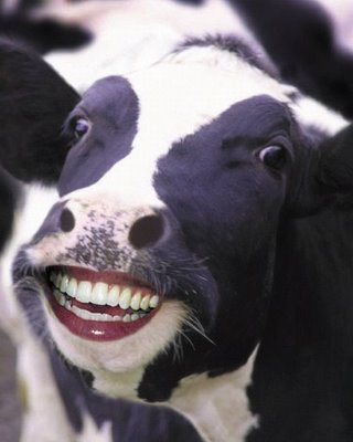 Funny Cow Smiles Picture