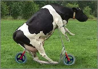 Funny Cow on Bicyle Picture