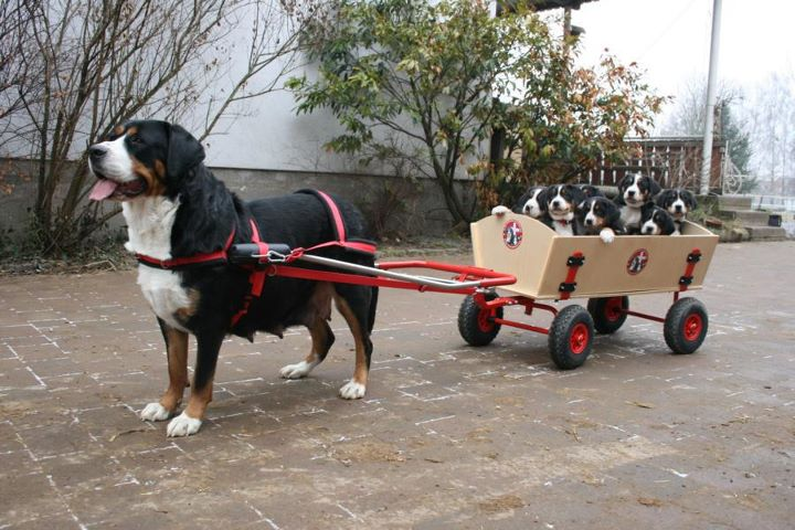 Funny Dog Picture Bernese pulling her pups in a wagon.
