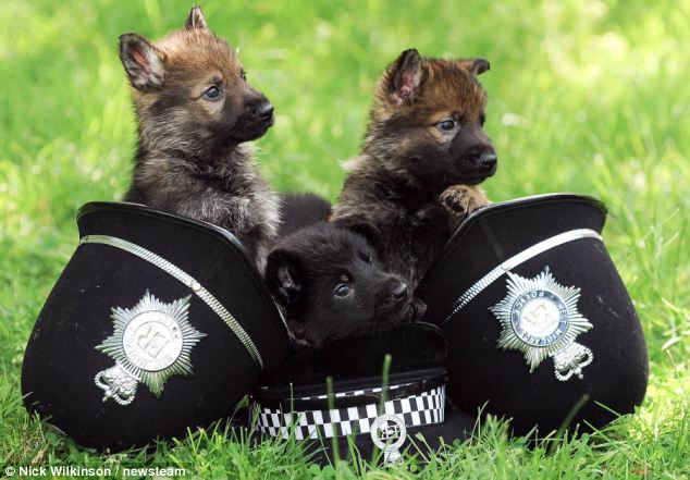 Funny Dog Picture Britains police dogs of the future