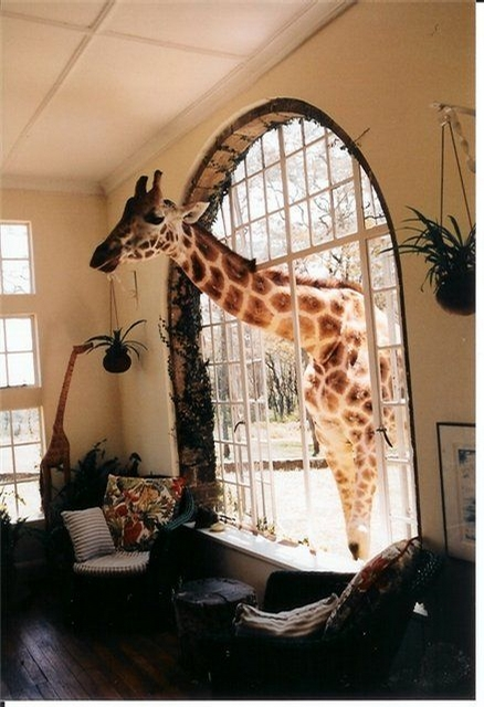 Funny Giraffe entered From the Window