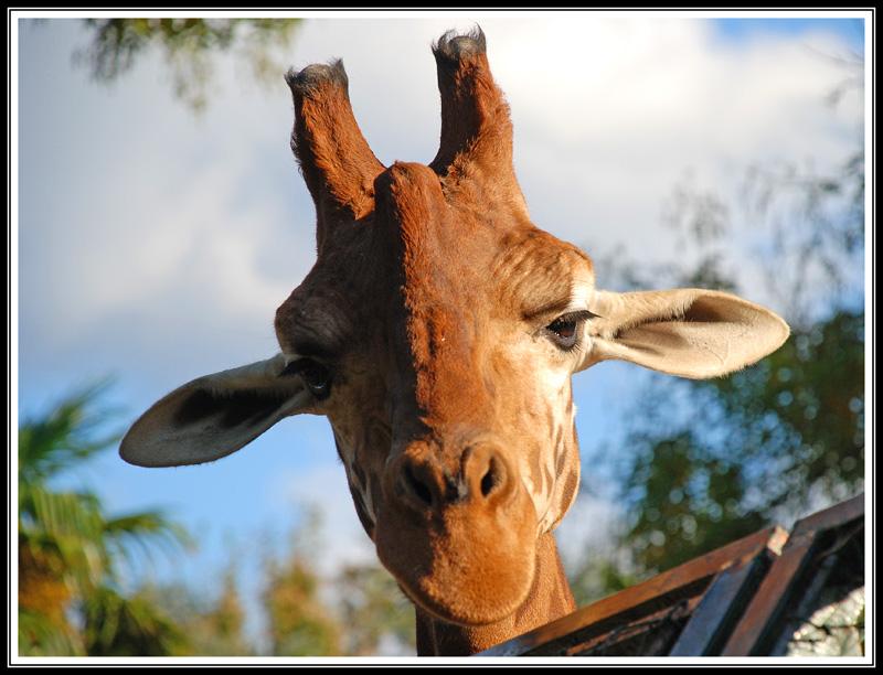 Funny Giraffe Face Image for Fb Share