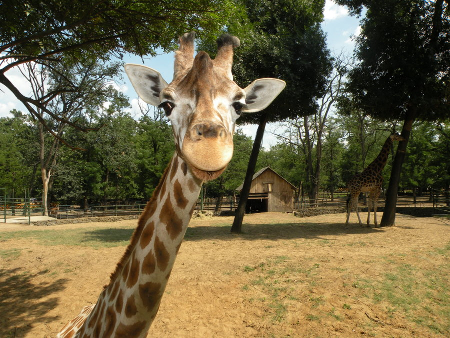 Funny Giraffe Image for Orkut