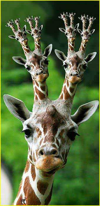 Funny Giraffe Picture for Friendster