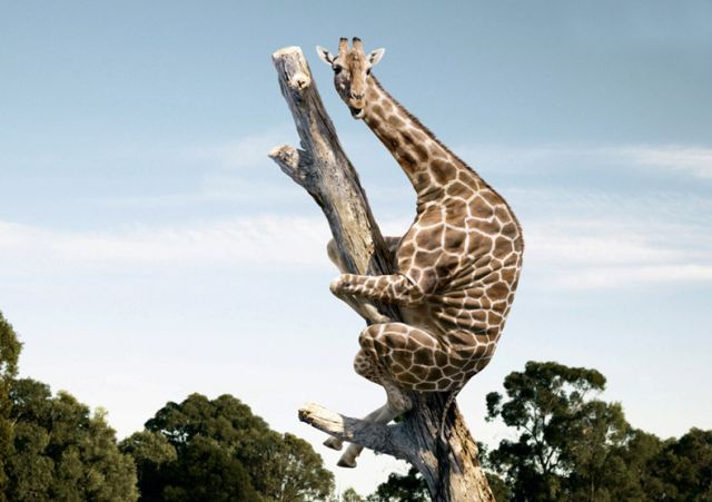 Funny Giraffe Sitting on the Tree