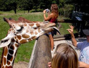Funny Giraffe Tongue Picture