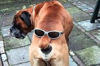 Funny Sun Glass Dog Picture