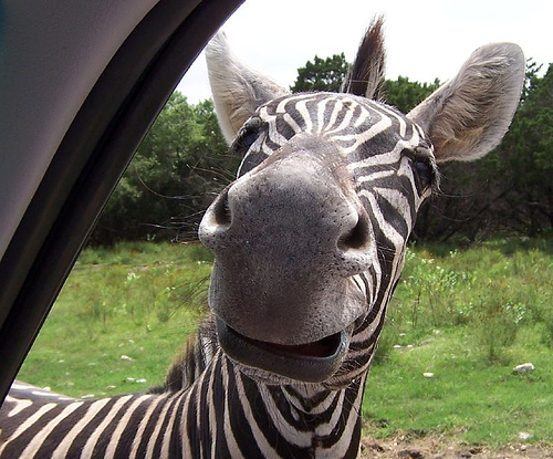Funny Zebra Face Image for orkut