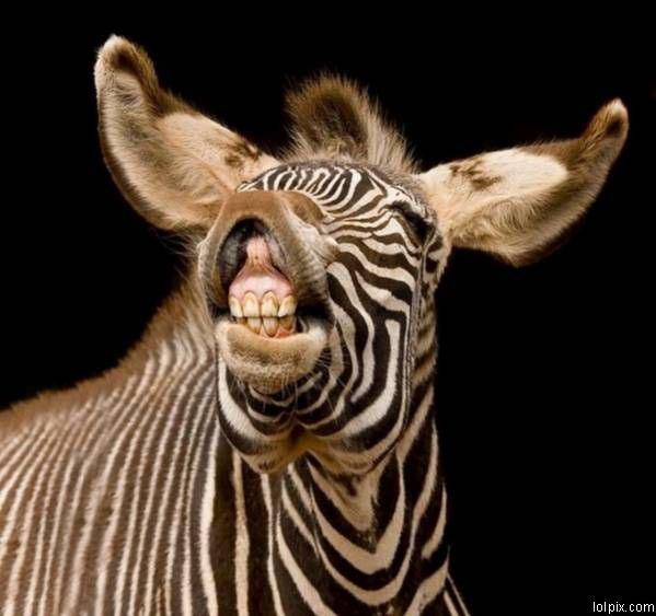 Funny Zebra Face Picture
