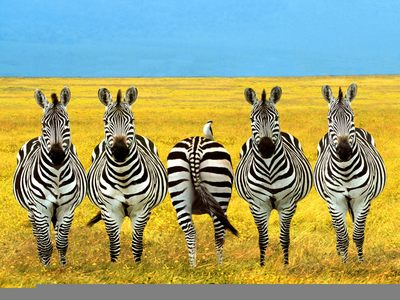 Funny Zebras Pictures Funny Zebras Picture For fb