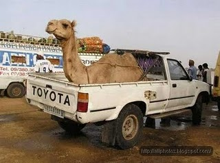 Funny Camel in the car Picture