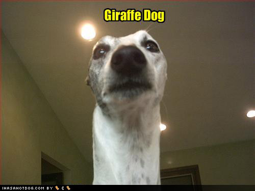 Giraffe Dog Picture