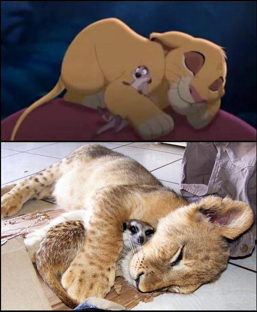 Hakuna Matata Funny Lion Picture