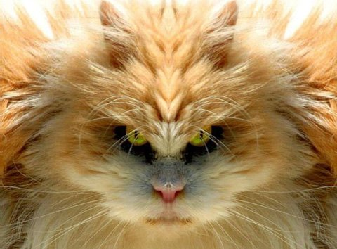 Funny Cat with the Big Hair Image
