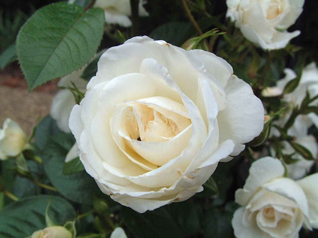 Happy Rose Day White Rose Picture
