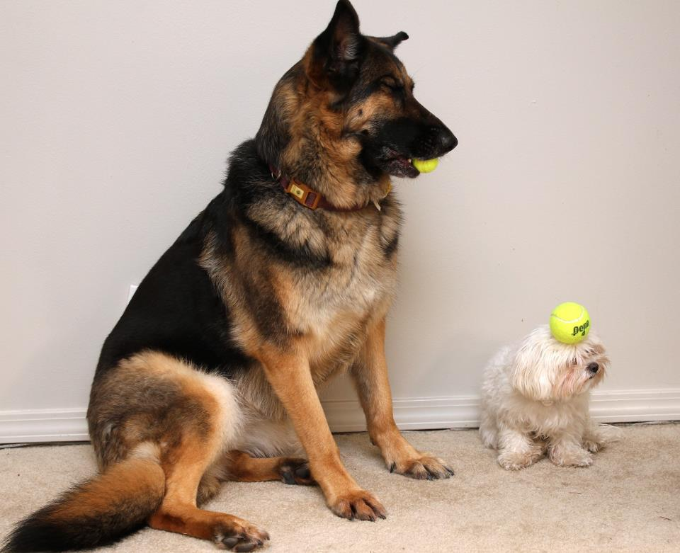 I gave a tennis ball to each of my dogs Funny Dog Photo
