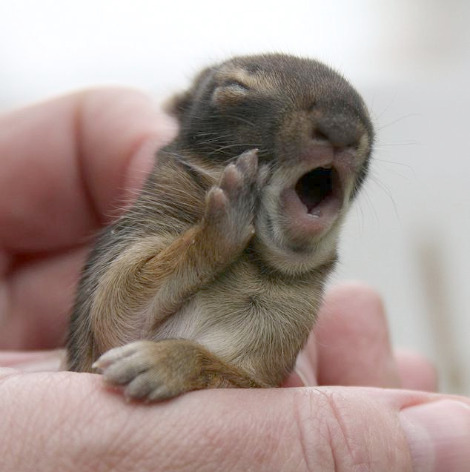 Just a baby bunny yawning. Funny Animal Picture