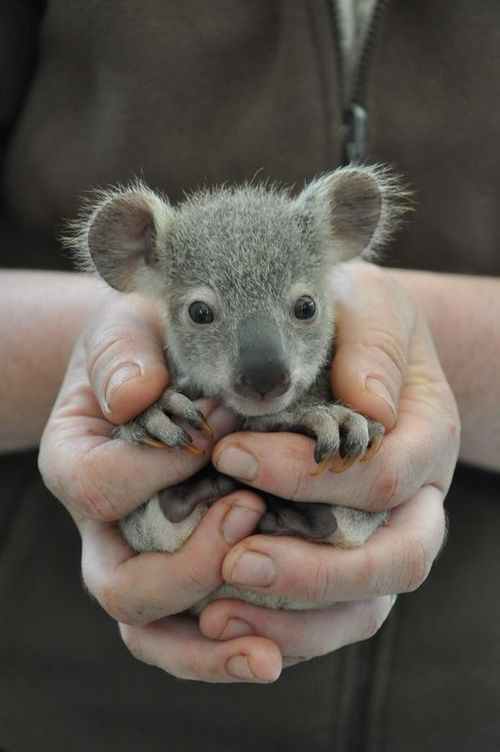 Just a baby koala bear Funny Animal Picture