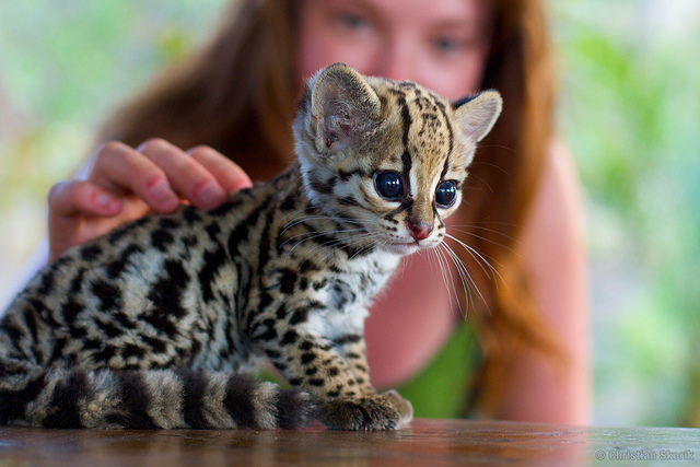 Funny Cat Picture Just a baby ocelot