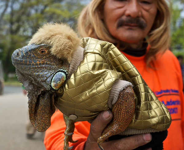 Just a lizard in a shiny gold jacket Funny Animal Picture