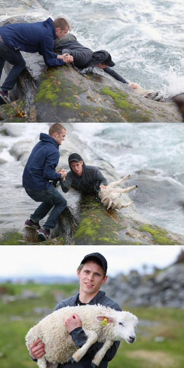 Just two Norwegian guys rescuing a baby lamb drowning in the ocean Funny Animal Picture