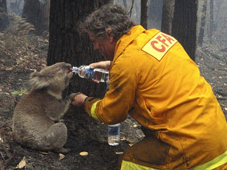 Koala getting water during firefighting in Australia Funny Animal Picture