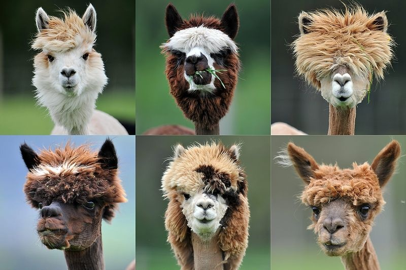 Lama haircuts Funny Animal Picture