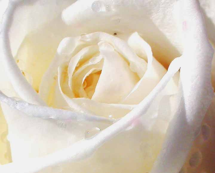 Nice White Rose Picture