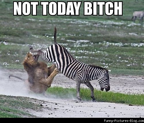Not Today Bitch Funny Animals Picture