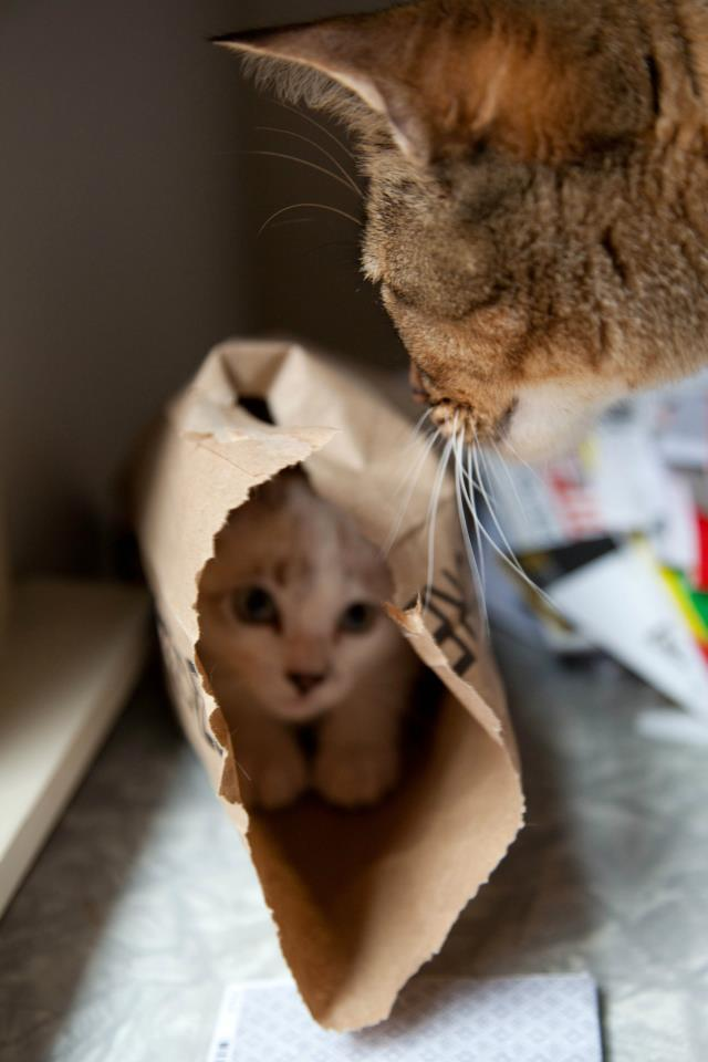 Our new kitty thought she was good at hide-and-seek Funny Cat Picture