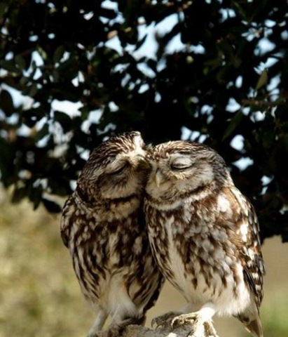 Owl Love Funny Amazing Picture
