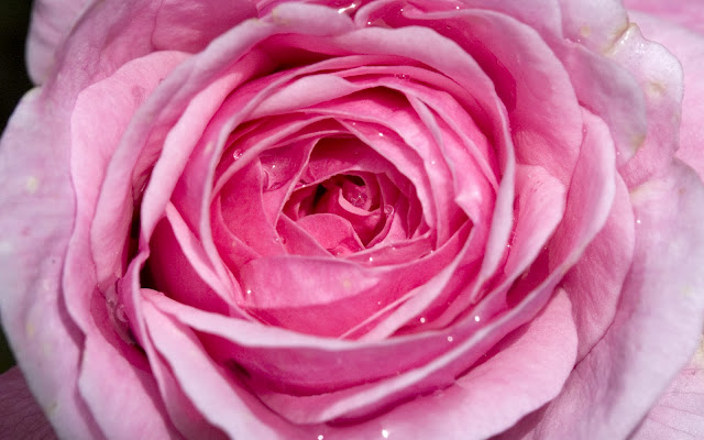 Pink Rose Picture for Facebook Sharing
