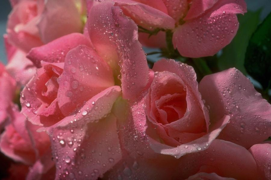 Pink Roses Picture for Fb Share