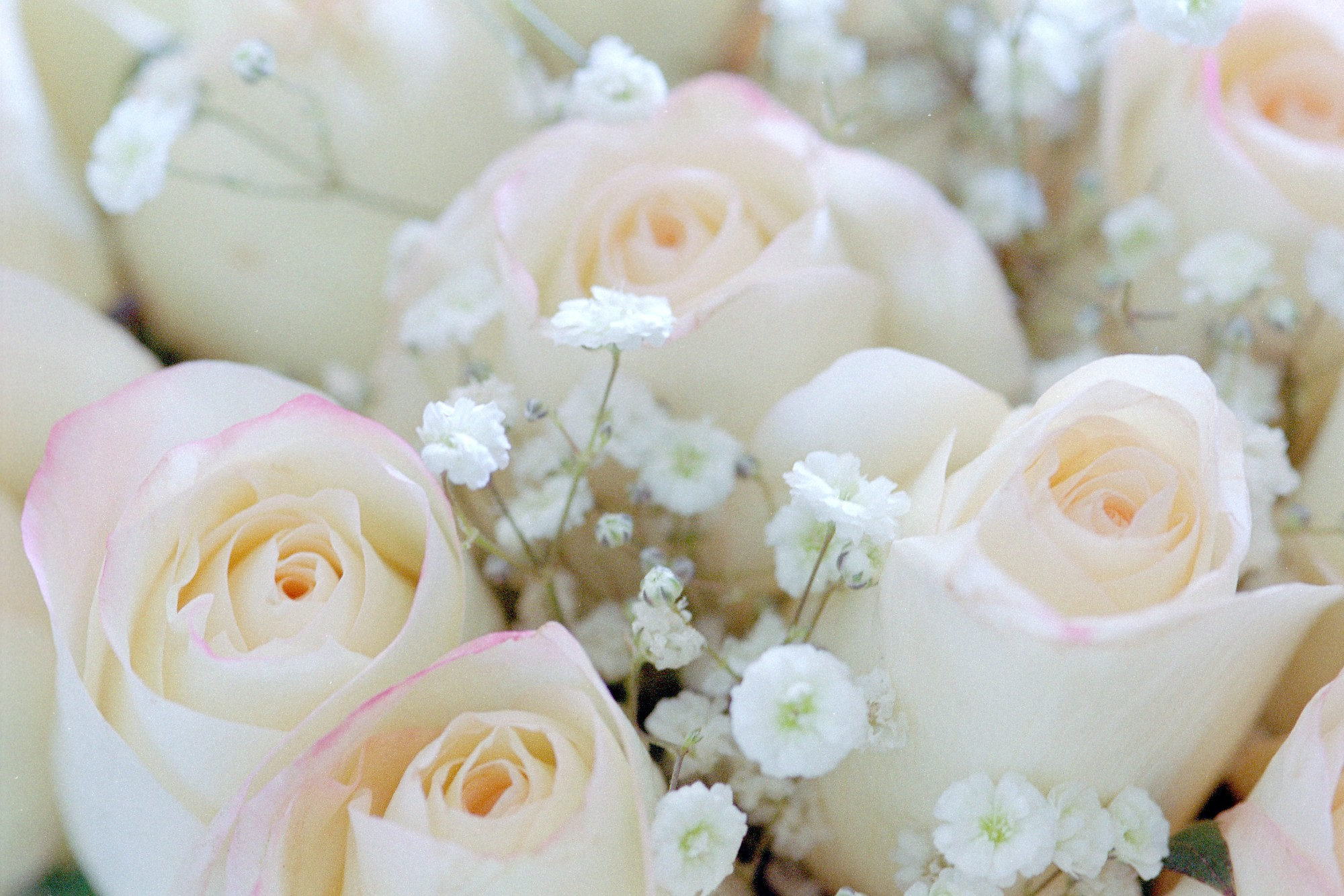 Pink Roses With Babys Breath