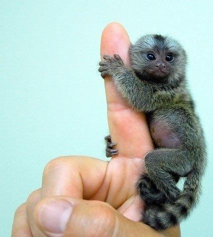 Pygmy marmoset Funny Animal Image