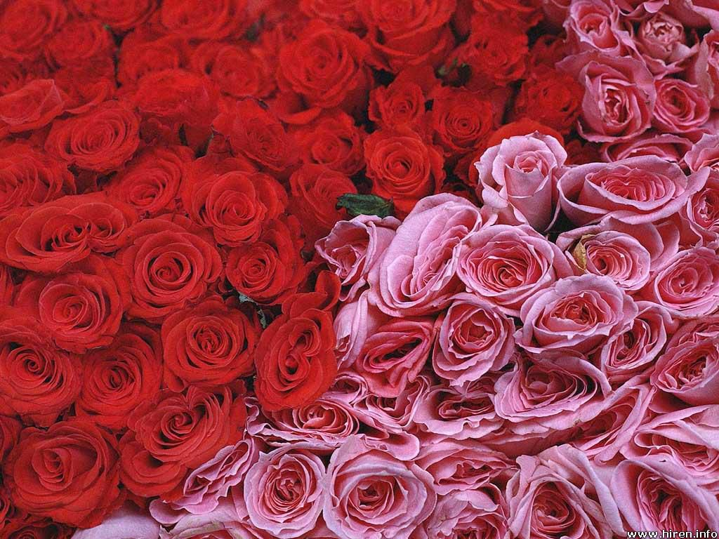 Red And Pink Roses Picture
