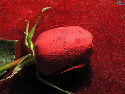 Single Red Rose Picture