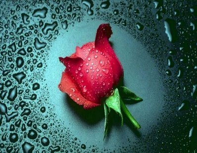 Single Rose say to you Happy Rose Day