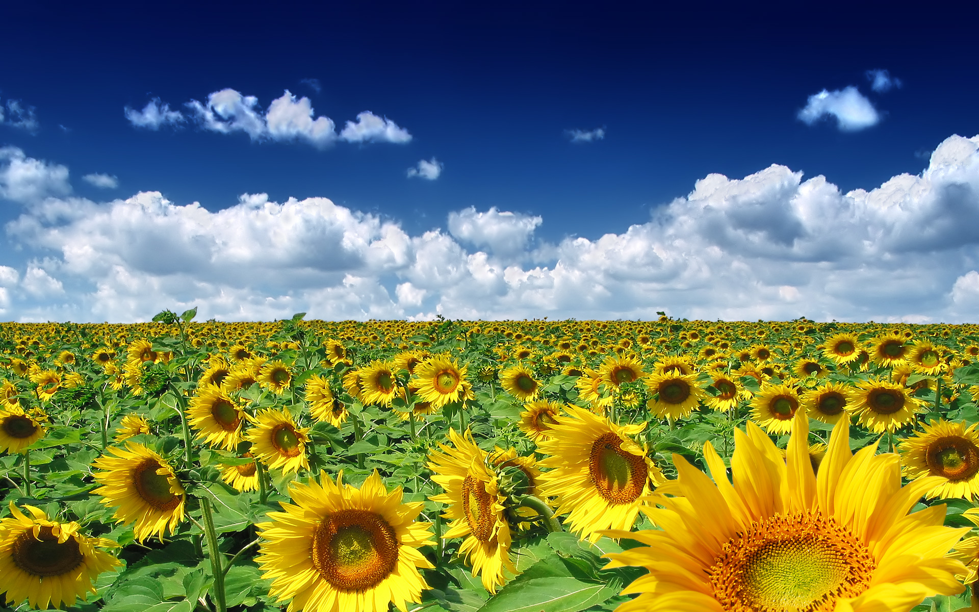 Sun Flowers Picture for Fb Share