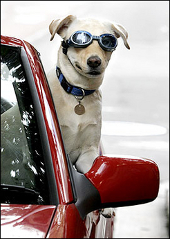 Funny Dog in Sunglass in a Red Car