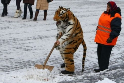 Thats called a  tiger Funny Tiger Picture