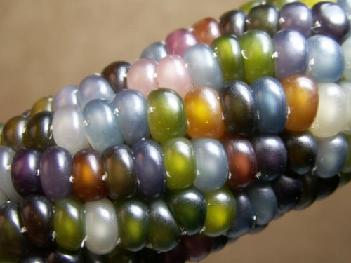 This is Glass Gem Corn. Funny Image