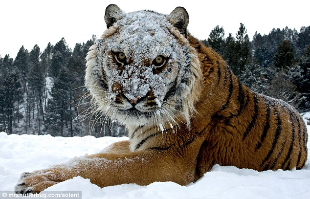 Throw one more snowball Funy Tiger Photo