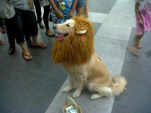 Trust me. I'm a lion. Funny Dog Image
