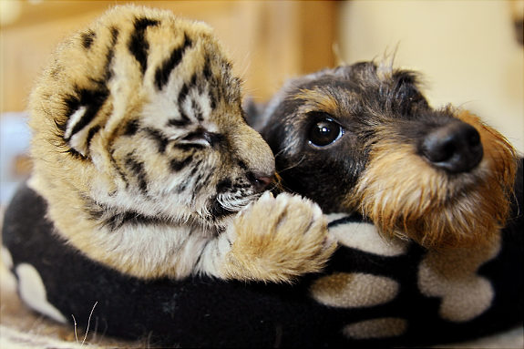 Unlikely Friends Funy Tiger Photo