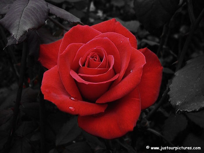 Valentine's Red Rose Picture