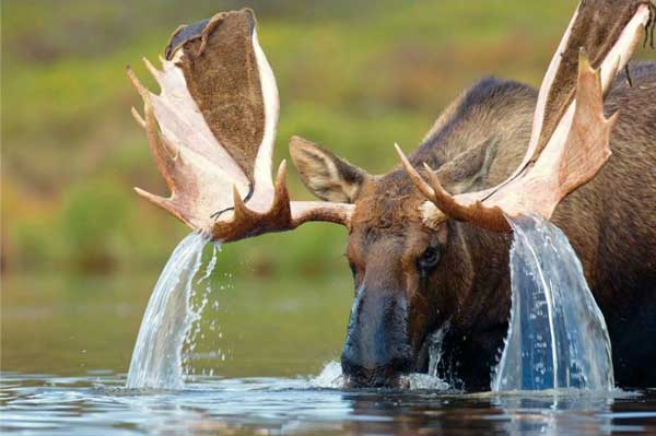 Water cascading off a bull moose's antlers Funny Animal Picture